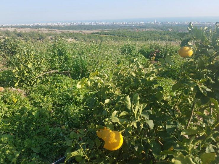 Orman arazisine dikilen limon ağaçları mahkeme kararıyla kesildi kesildi